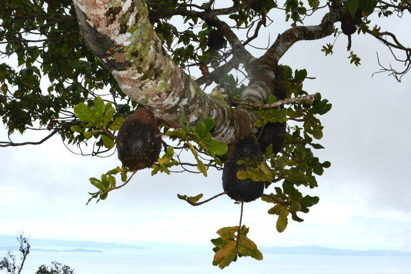 fijian-ants