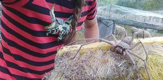 giant-spider-australia-charlotte