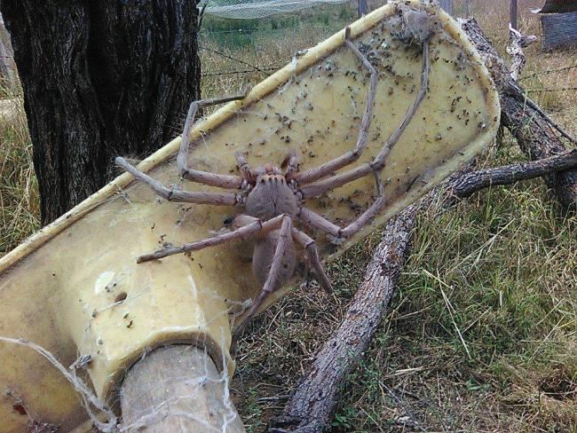 giant-spider-australia