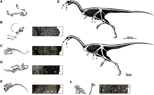 Six Ontogenetic Stages and Major Ontogenetic Variations of Limusaurus inextricabilis Image Credit: Current Biology