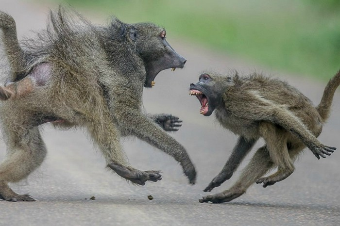 Aggressive male baboons