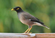 threat from exotic invasive bird species